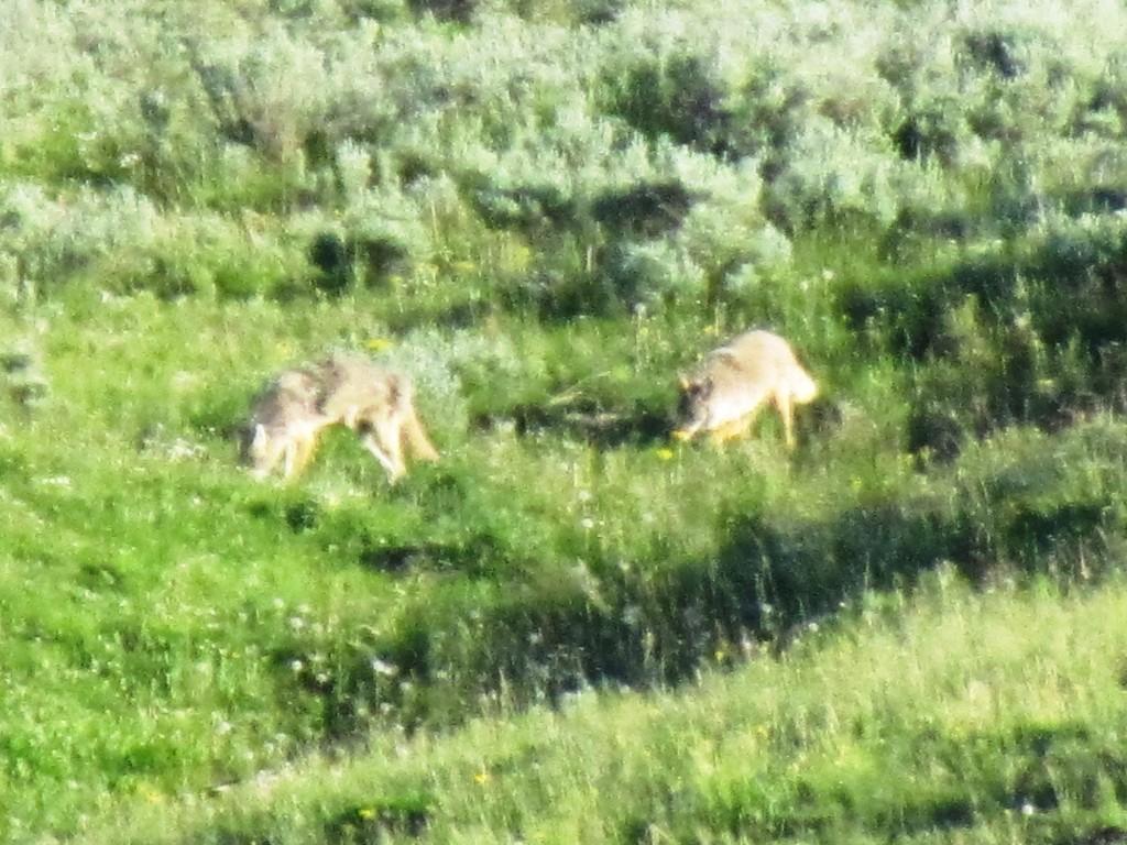 wildlife at yellowstone